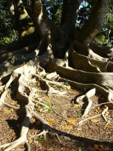 photo shows the twisted roots of an old oak tree